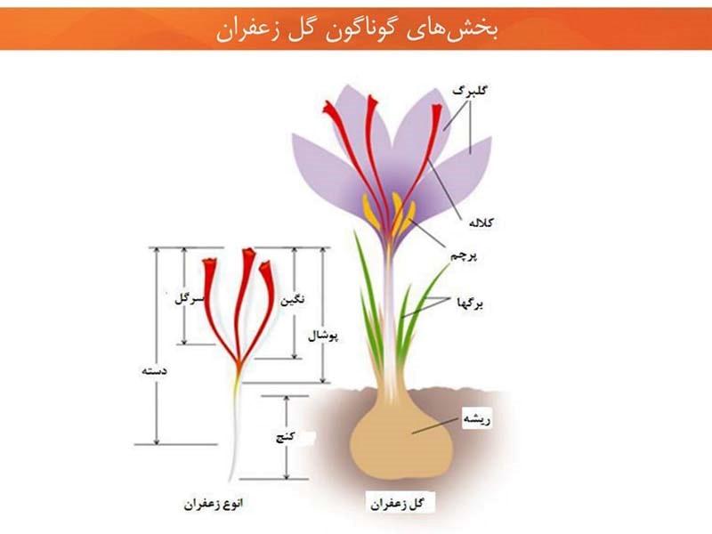 مشخصات گیاه زعفران