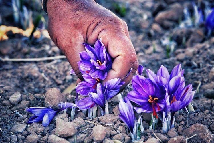 لستفاده اسید هیومیک برای زعفران