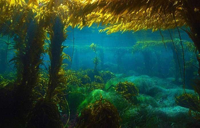 خرید عصاره جلبک دریایی