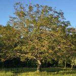 کاشت درخت گردو