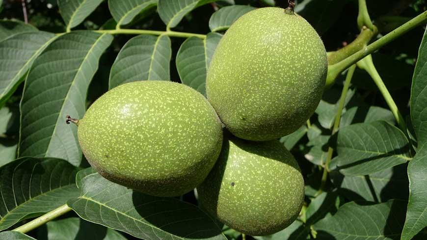فواید میوه گردو