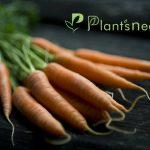 کود هویج